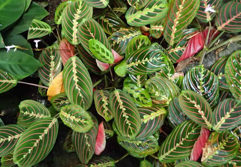 nyílgyökér növény