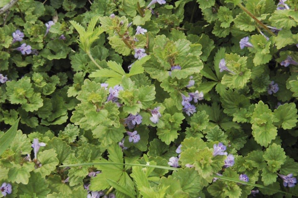 kerek repkény növény