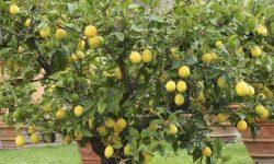 Alacsony növésű gyümölcsfák – nevelj törpe fát akár a balkonon