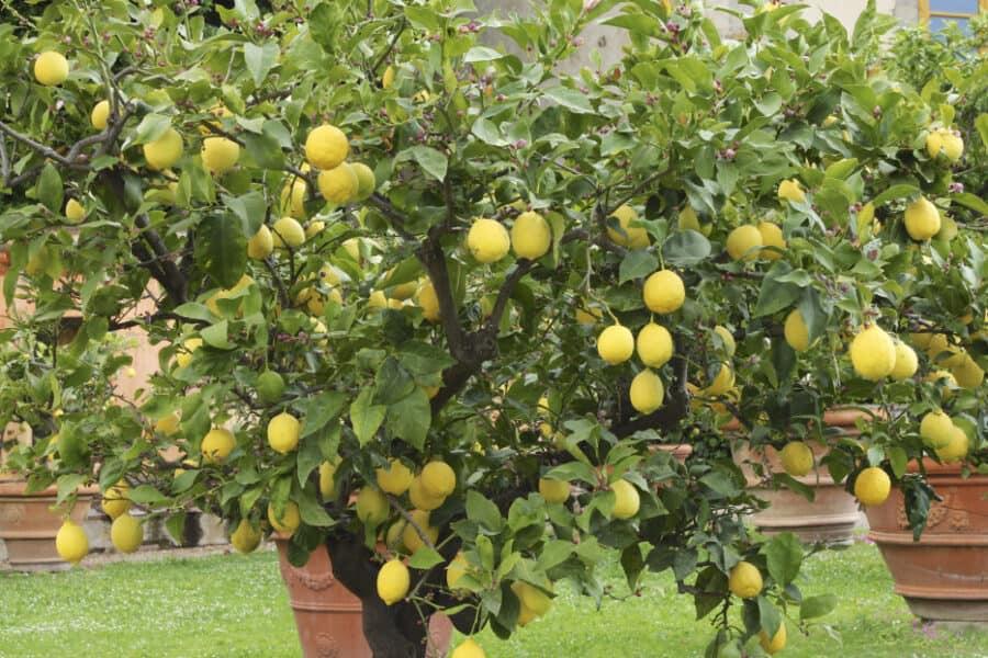 citromfa