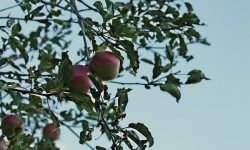 Melyik gyümölcsfa szereti a vizes talajt?