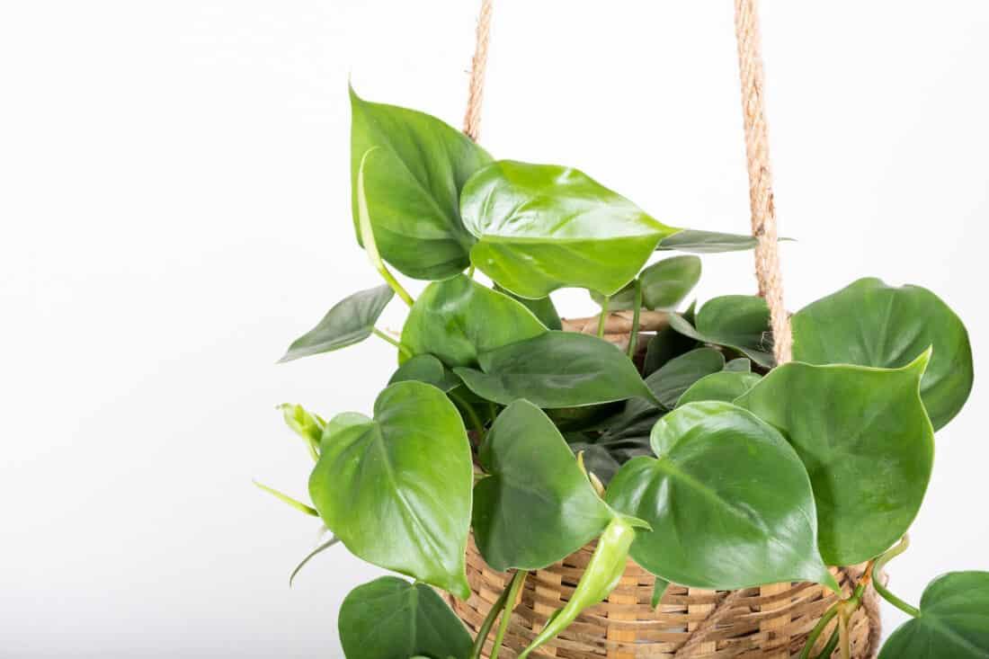 szívlevelű filodendron növény