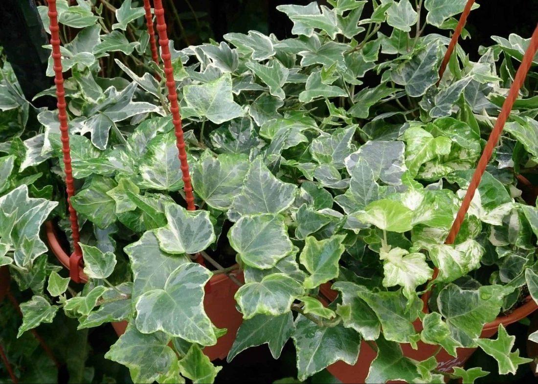 Hedera Helix növény