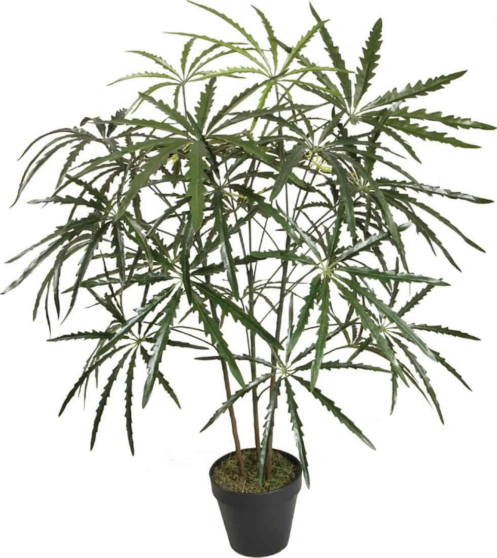 Schefflera Elegantissima növény