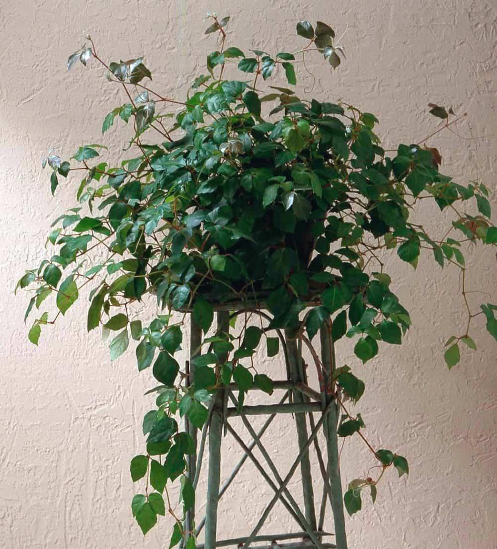 délszőlő növény