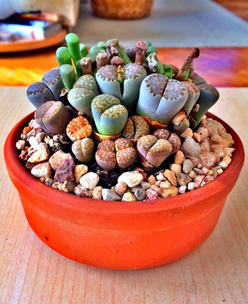 Lithops növény