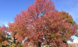 10 gyorsan növő árnyékot adó fa