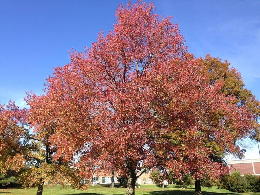 Ámbrafa gyorsan növő árnyékt adó fa