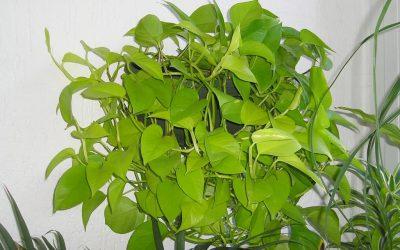 Aranyos szobafutóka (Epipremnum Pinnatum)