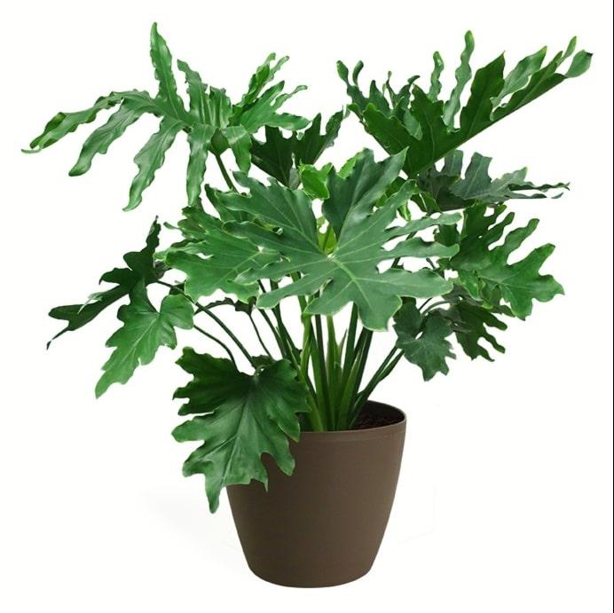 Philodendron Bipennifolium