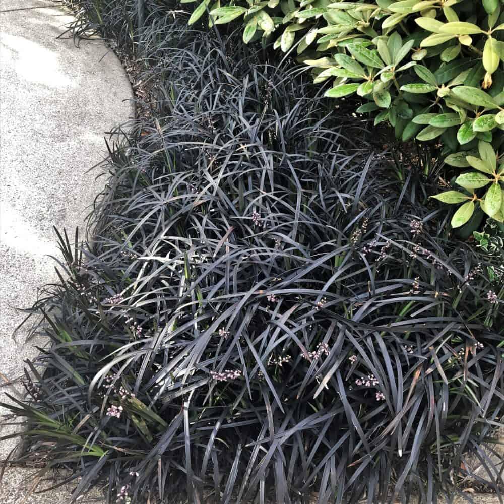 fekete kígyószakáll