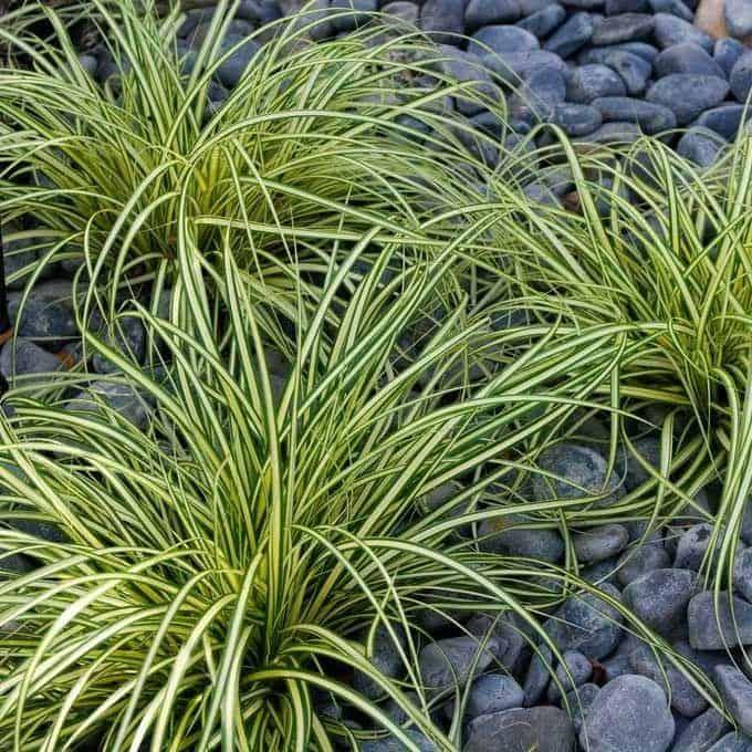 japán sás kavicsos talajban