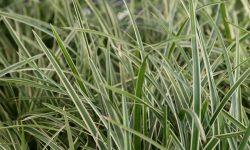Japán sás (Carex Morrowii) gondozása és minden amit tudnod kell – Teljes útmutató