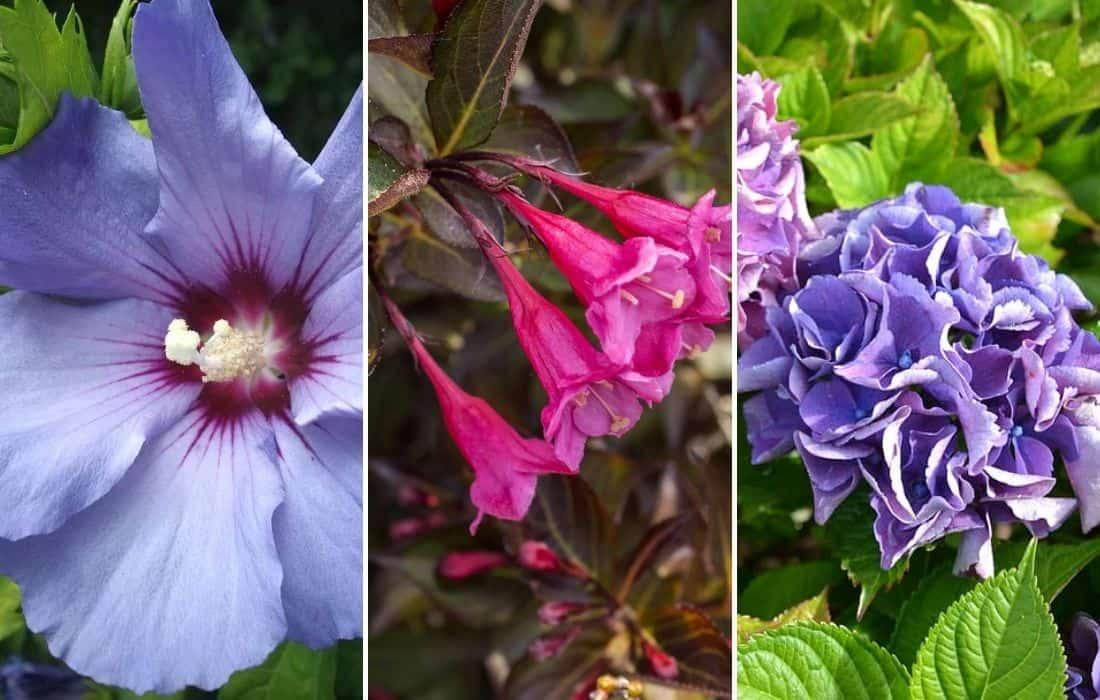 lila virágú bokor