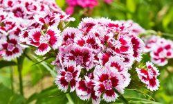 Szegfű (Dianthus) gondozása és amit tudni kell róla – Teljes útmutaó