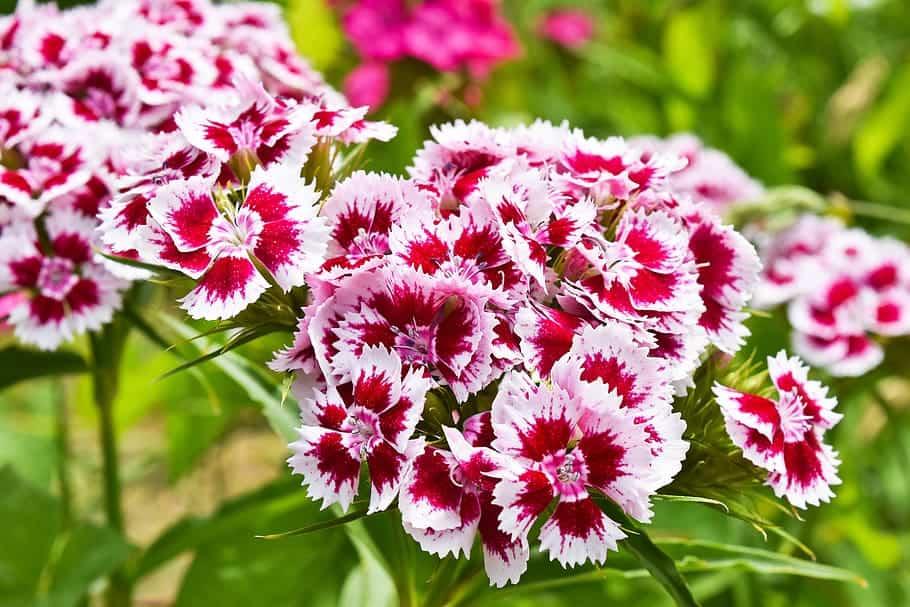szegfű virág_