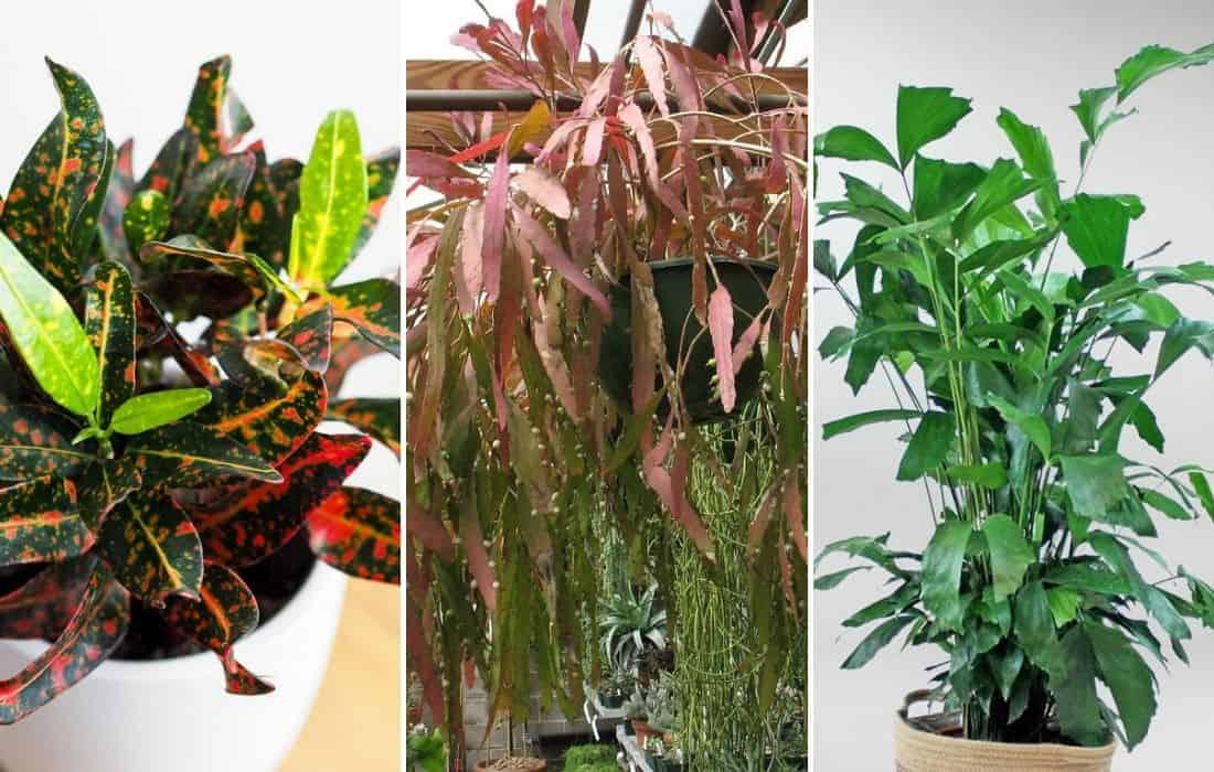 trópusi szobanövények